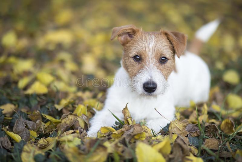 Autumn dog, cute pet puppy looking in the leaves royalty free stock image