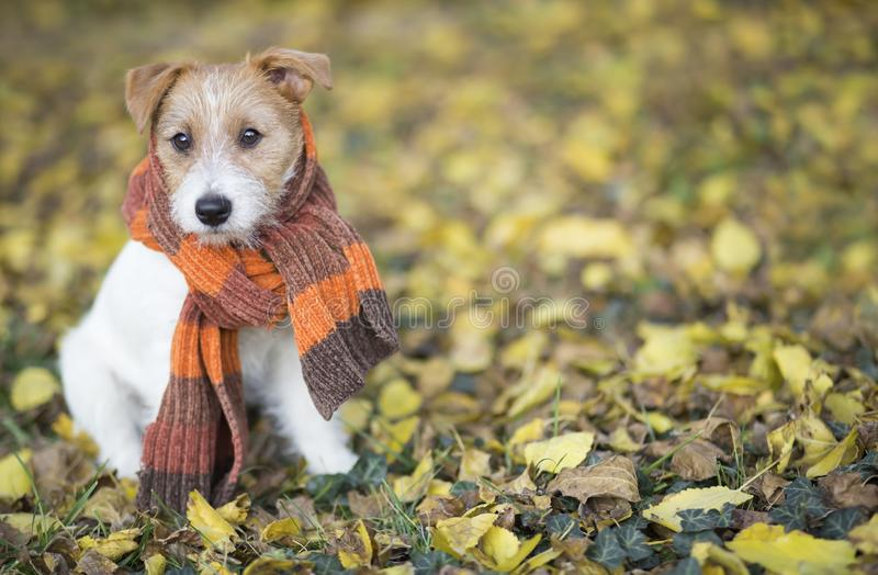 Autumn dog, cute pet puppy sitting in the leaves. Autumn dog, cute pet puppy with scarf sitting in the colorful leaves stock images