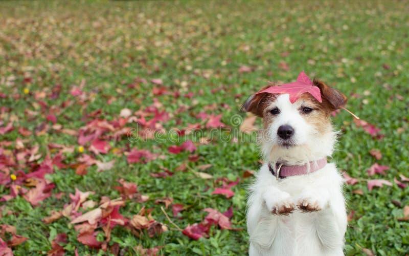Autumn Dog DET JACK RUSSELL VALPANSEENDET P? TV? BAKRE BEN OCH TIGGERI P? ATT BE GEST MED DESS FRAMDEL TAFSAR P? NEDG?NGSIDAGR?S arkivfoto