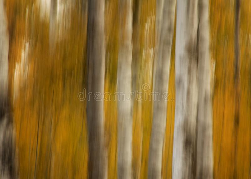 Autumn Drag. Intentional camera drag of birch trees and yellow leaves giving a beautiful fall colour abstract