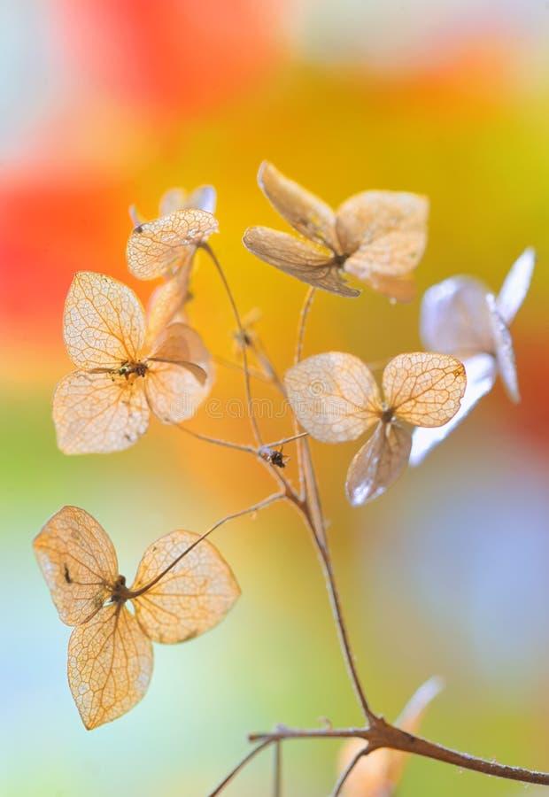 Autumn dried Hydrangea flowers stock photo