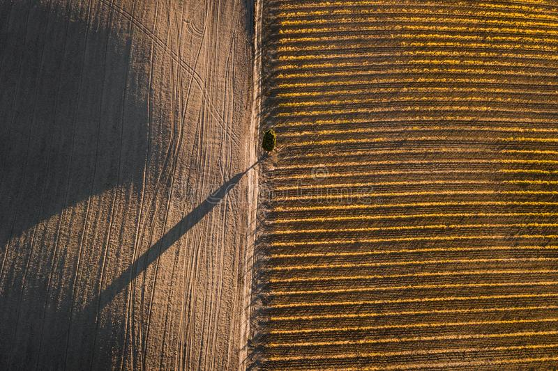 Autumn drone abstract view of vineyards from above. Autumn abstract view of italian vineyards, empty field and cypress tree in golden orange colors. Drone aerial stock photo