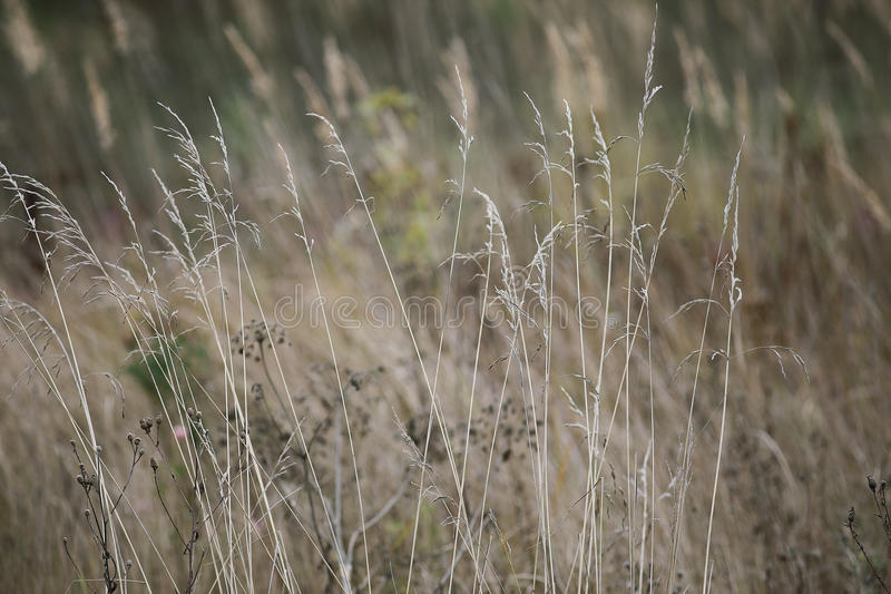 dry grass field background. Download Autumn Dry Grass In Field Stock Photo. Image Of Background - 62269106 R