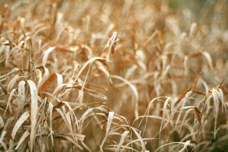 Autumn dry grass sedge royalty free stock image