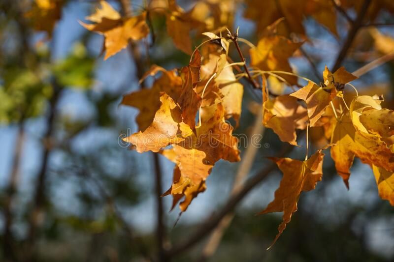 Autumn dry leaves branches. In the sun royalty free stock photos