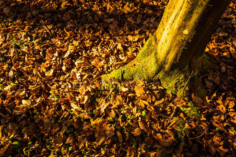 Autumn dry leaves in forest yellow and brown colors. Background royalty free stock image
