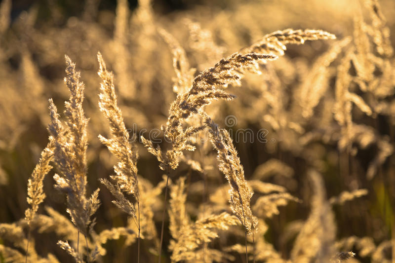 Autumn. Dry wild grass in the sunlight - golden background stock photos