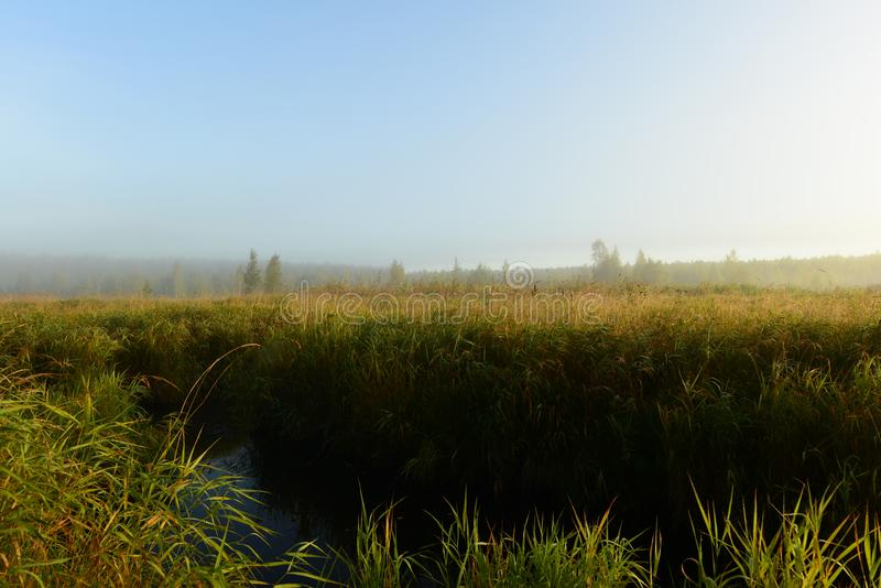 Autumn early morning in a forest swamp in dense tall grass in the light of the rising sun. Autumn morning in a forest swamp in dense tall grass in the light of royalty free stock photo