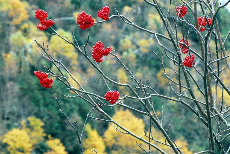 AUTUMN-FALL- bacche rosse luminose contro un fondo di caduta fotografie stock libere da diritti