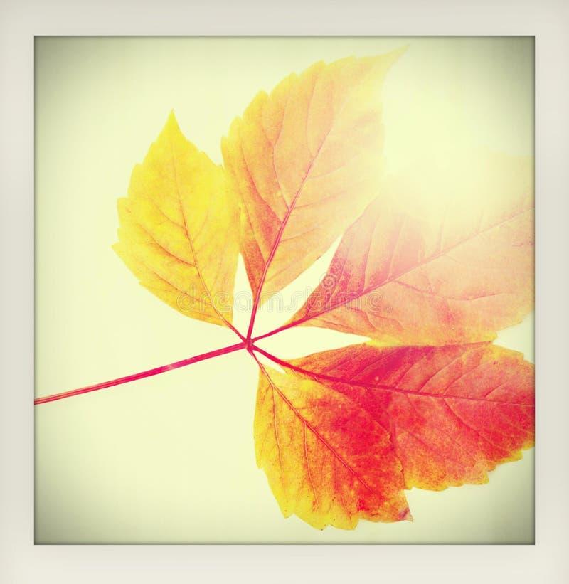 Autumn Fall Background Uma licença de outono vermelha e alaranjada colorida com o raio do sol - feito como wi amadores de uma fot fotos de stock