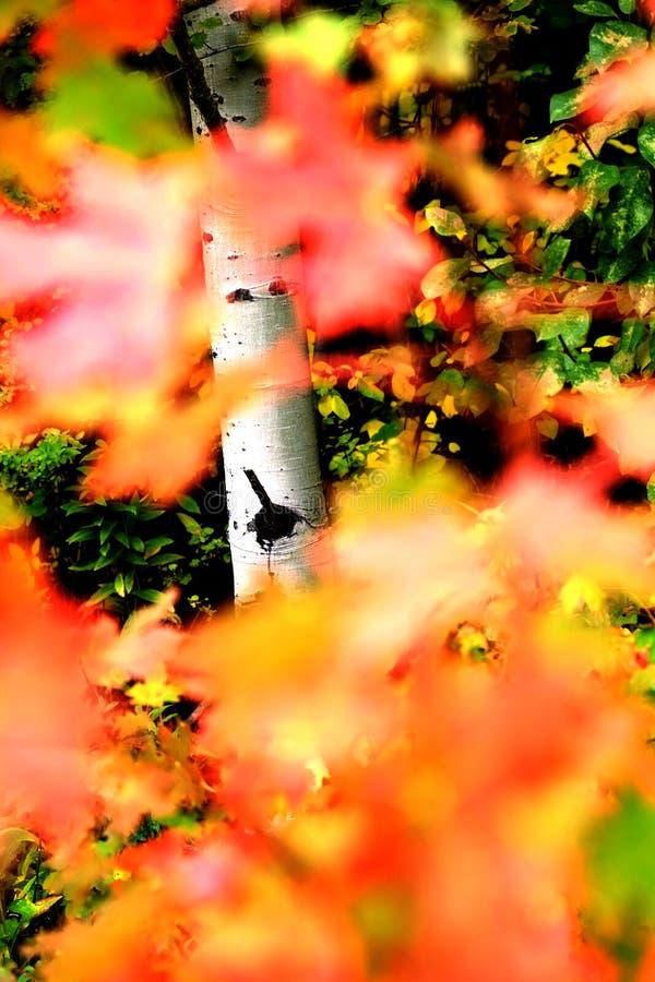 Autumn Fall Birch Tree med Coloful sidor och den vita stammen royaltyfri fotografi