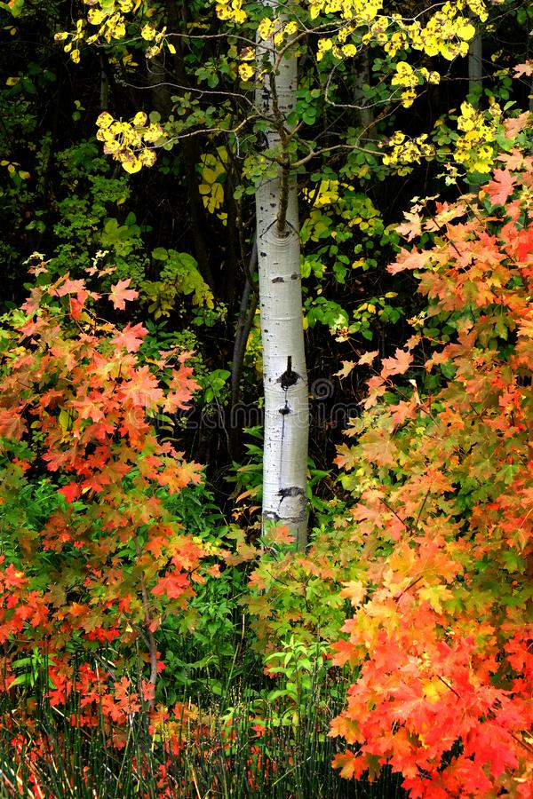 Autumn Fall Birch Tree med Coloful sidor och den vita stammen arkivbild