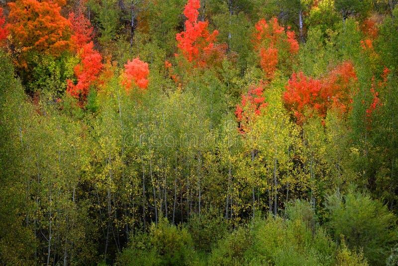 Autumn Fall Birch Tree med Coloful sidor och den vita stammen arkivbild