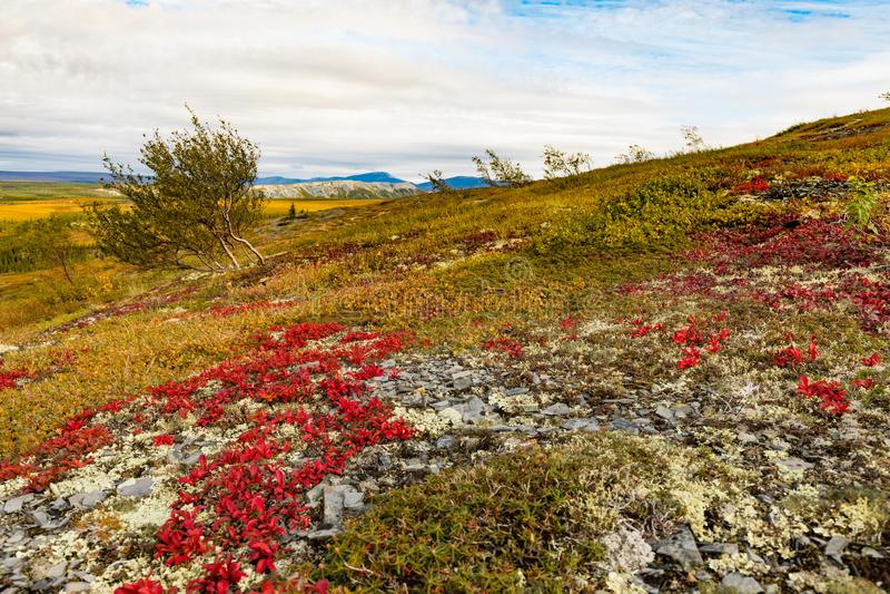 Arctic Tundra Fall Colors Yukon Territory Canada. Autumn fall colors in arctic tundra with bright red Alpine Bearberry, Arctous alpina,  Richardson Mountains stock photo