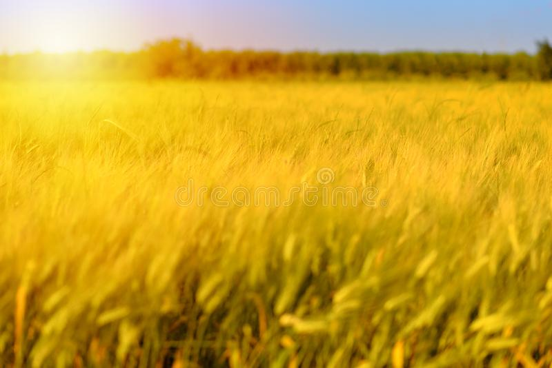 Autumn fall harvest background. Sunny day, wheat yellow gold meadow. stock photography