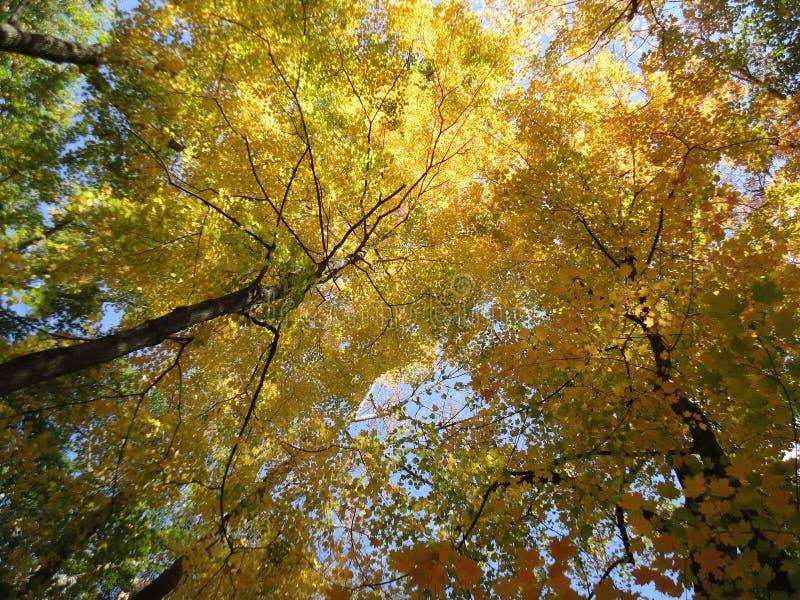 Autumn Fall Foliage Canopy royalty free stock photo