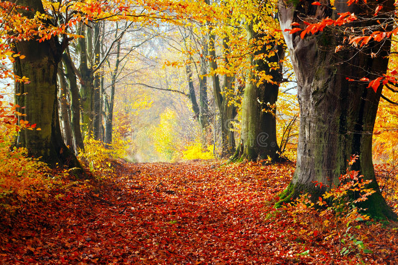 Autumn, fall forest. Path of red leaves towards light. Autumn, fall forest. Natural path towards light of afternoon sun. Red leaves, romantic mood royalty free stock images