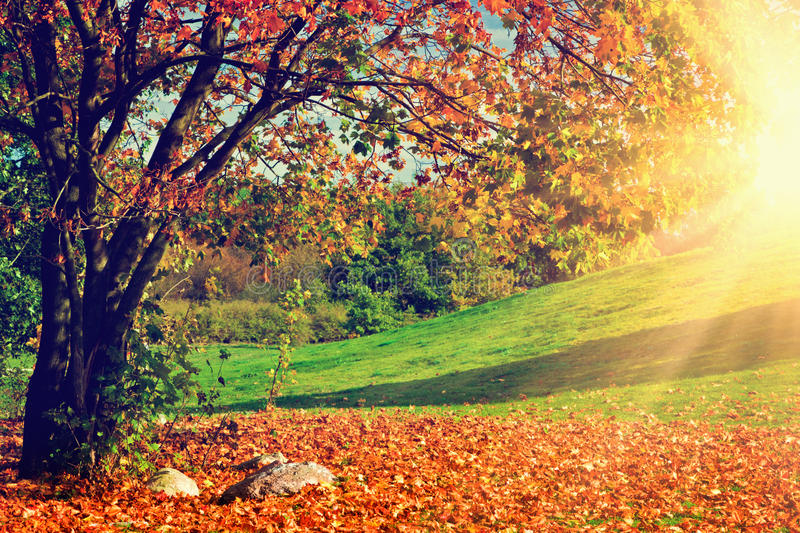 Autumn, fall landscape. Tree with colorful leaves royalty free stock image