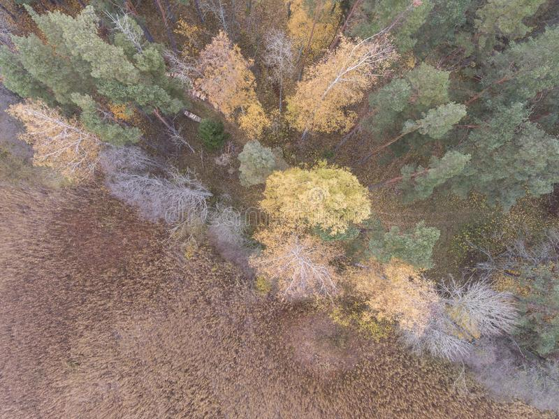 Autumn mood - lake reeds and forest top down view from drone for desktop wallpaper. Autumn fall in Latvia with lake reeds colorful forest top down view from stock photo