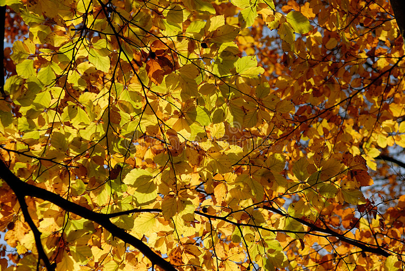 Download Autumn/fall Leafs. stock photo. Image of trees, leafs - 1580844