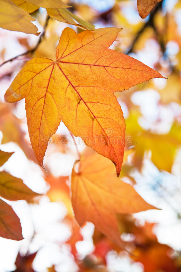 Autumn Fall Leaves. Close up photo of fall colored leaves stock images