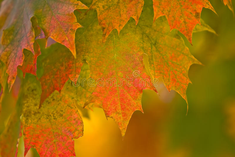 Autumn Fall Leaves. Brilliant color in details of fall leaves turned for autumn season royalty free stock image