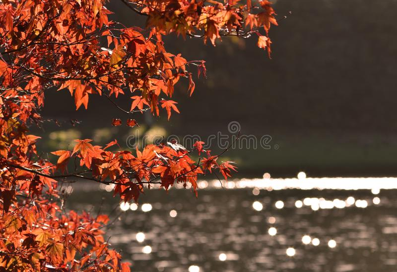 Autumn / Fall Leaves - Acer / Japanese Maple Tree stock photography