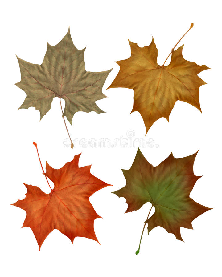 Autumn fall leaves isolated on white. Background for clip-art or scrapbook accents royalty free illustration