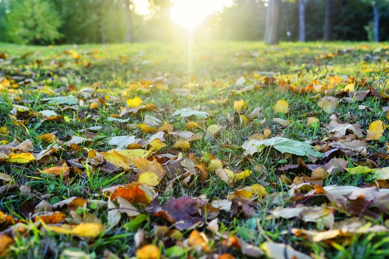 Coloured autumn leaves on grass in setting sun. Autumn fall out leaves on grass in the rays of the setting sun. View from frog perspective stock photography