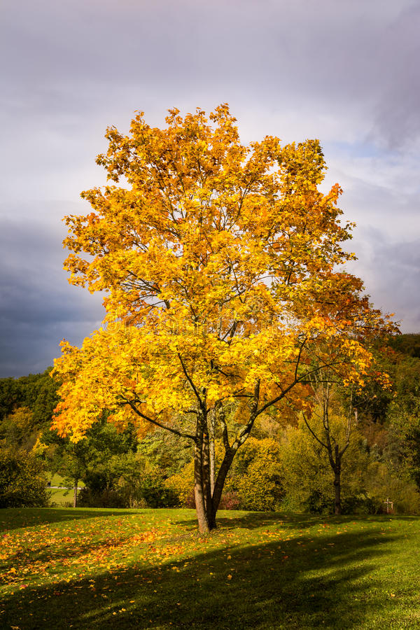 Autumn Fall Season Changing Leaves Contrast Single Tree Alone Forest Independent Orange Yellow Red Leaves Plant Field Landscape P. Ath Wood Bright royalty free stock images