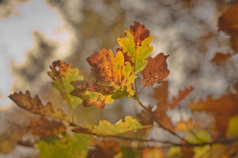 Oak leaves autumn colors back light sun sunset warm colors royalty free stock photo