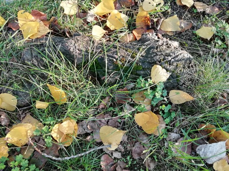 Autumn fallen leaves. Autumn, fallen leaves on top of the tree root and grass stock photos