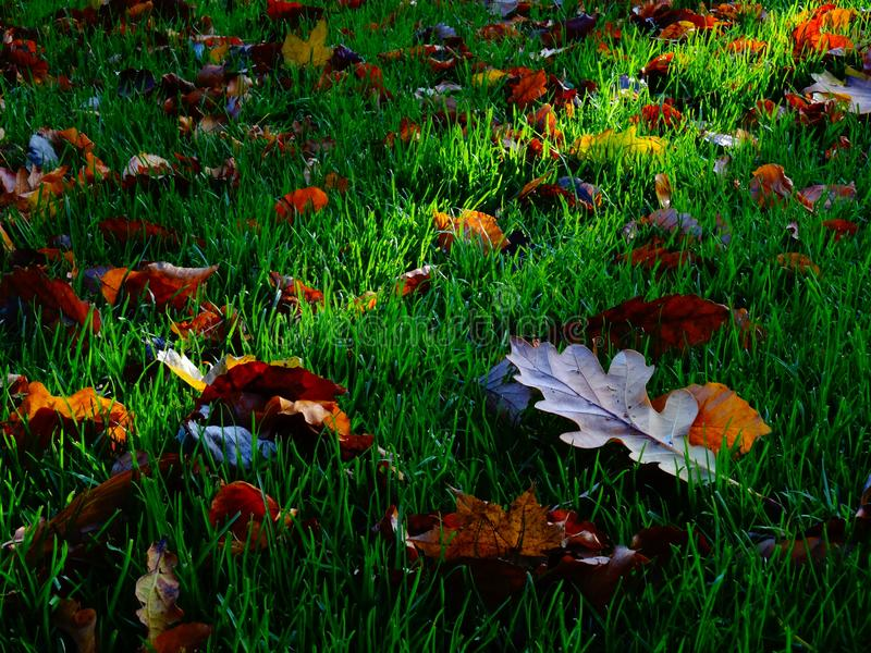 Autumn fallen leaves on green grass. Autumn Background Theme - Fallen leaves on green grass ground in November royalty free stock image