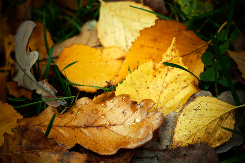 Autumn Fallen Leaves With Rain Drops. Stock Image