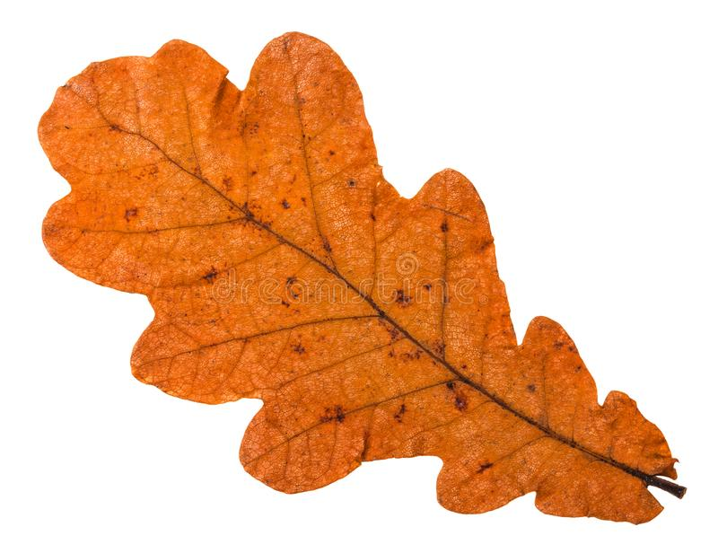 Autumn fallen orange leaf of oak tree isolated. On white background royalty free stock photography