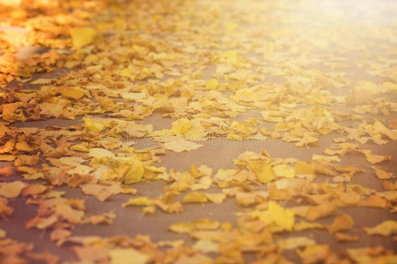 Autumn fallen yellow leaves background in the in blurry sun stock photo
