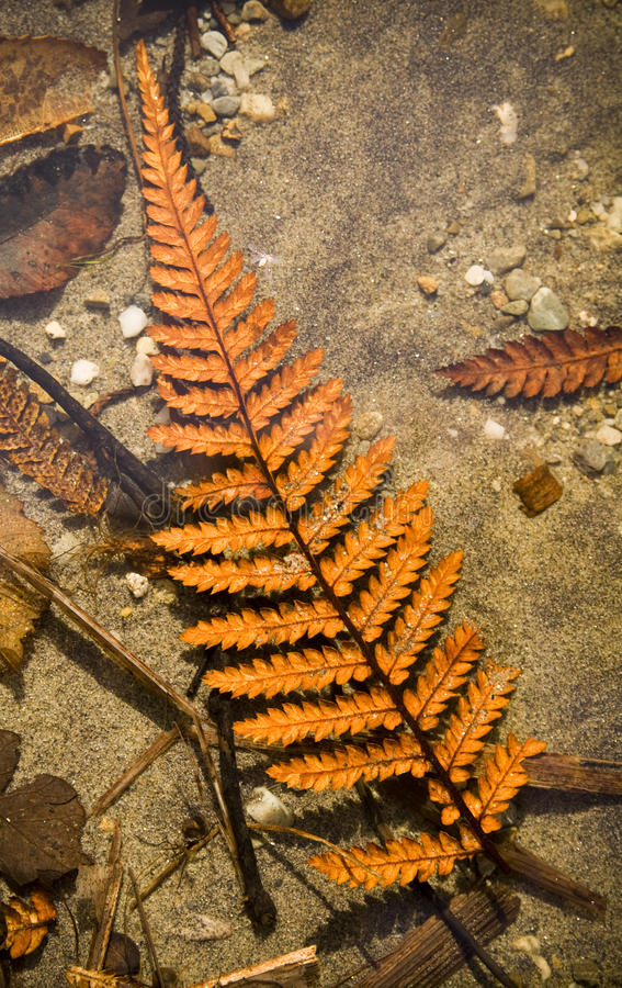 Autumn Fern. Orange fern frond and other leaves underwater on a lake floor stock image