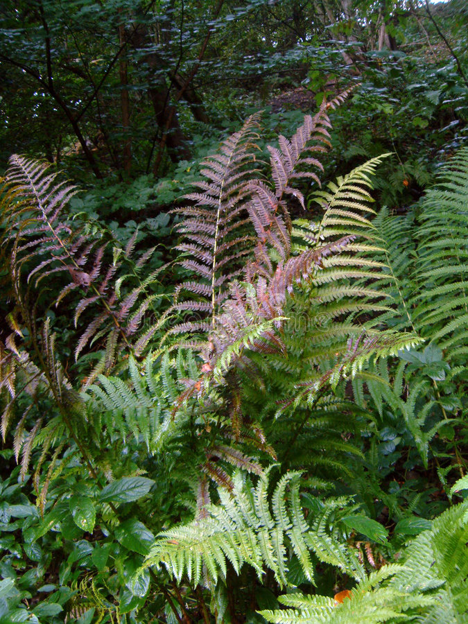 Autumn Fern. In Woodland royalty free stock photography