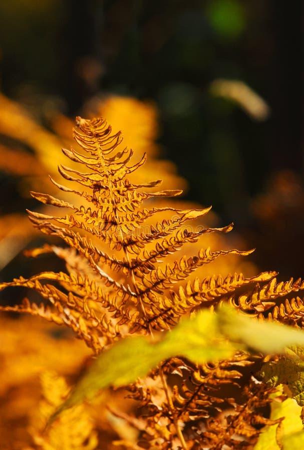 Autumn fern. A golden fern in autumn royalty free stock photography