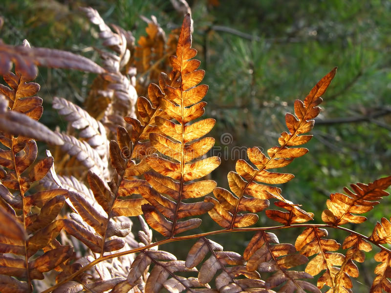 Autumn fern details. Sunny reflections, green forest background stock images