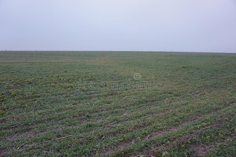 Autumn field with only sprouted winter wheat. Autumn field with only sprouted winter wheat stock photography