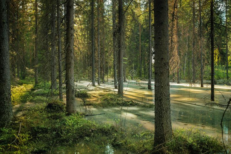 Forest view in spring ground flooding water stock photo