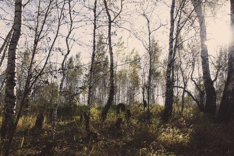 Autumn& x27; floresta do vidoeiro de s fotos de stock