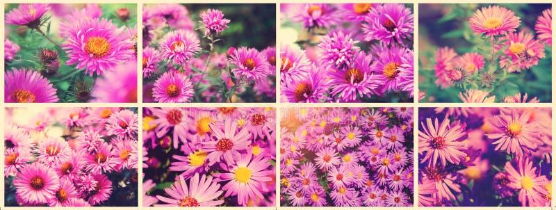 Autumn Flower - Chrysanthemum CHRYSANTHEMUM. Beautiful collage of photos, panorama. Toning style instagram royalty free stock photo