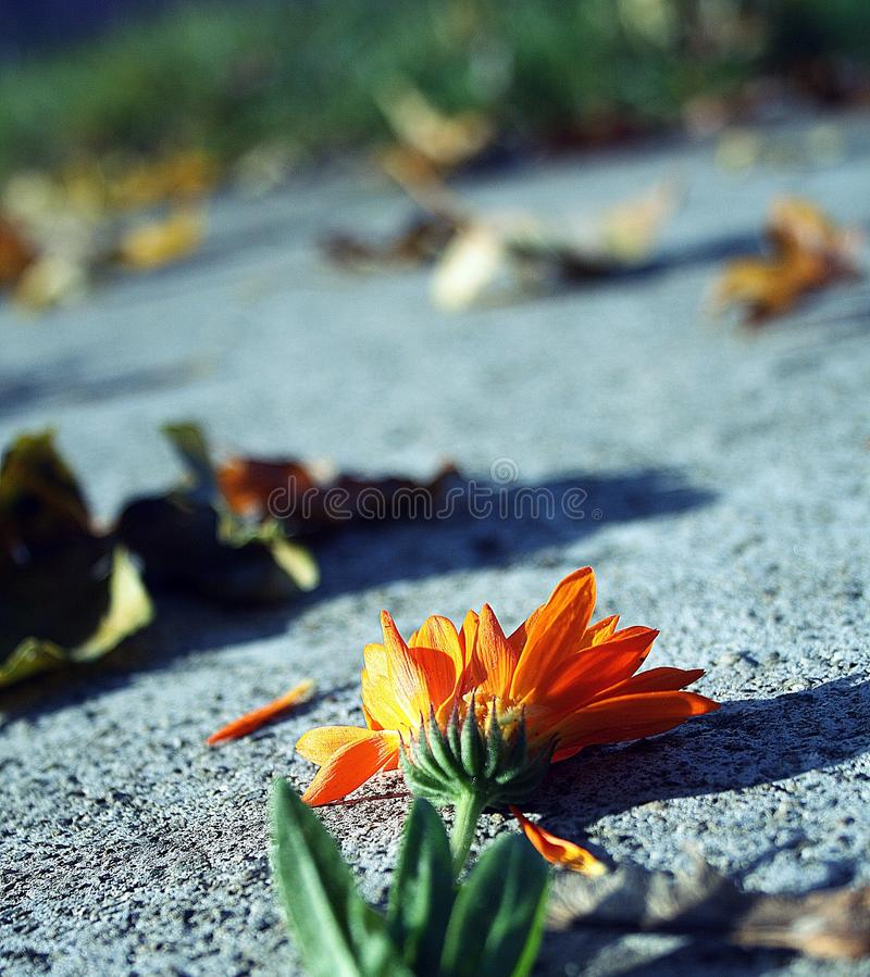Autumn flower. royalty free stock photography