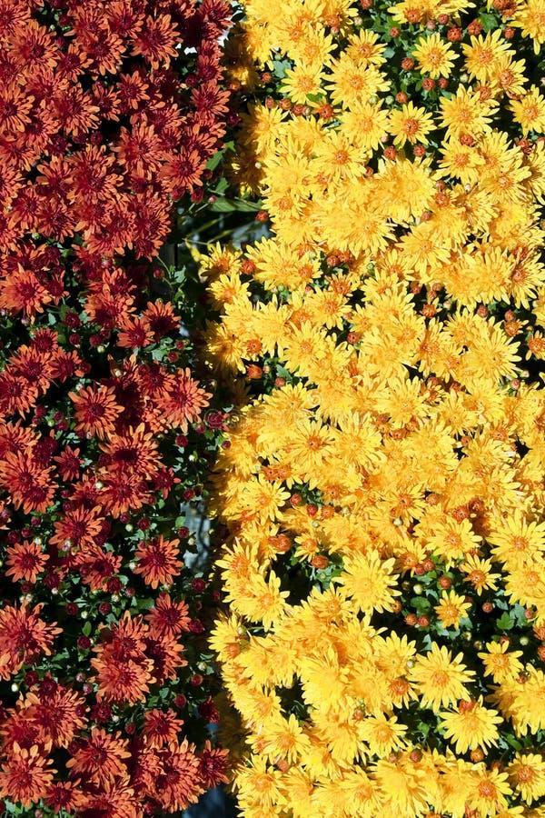 Download Autumn flowers stock image. Image of flower, plants, chrysanthemum - 23763791