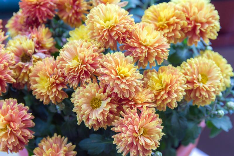 Autumn flowers-blooming yellow garden mums-Chrysanthemum, Background from a bouquet of yellow chrysanthemums. stock photo