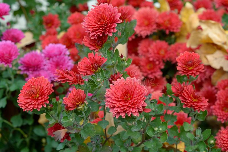 Autumn flowers in bright colors royalty free stock photography