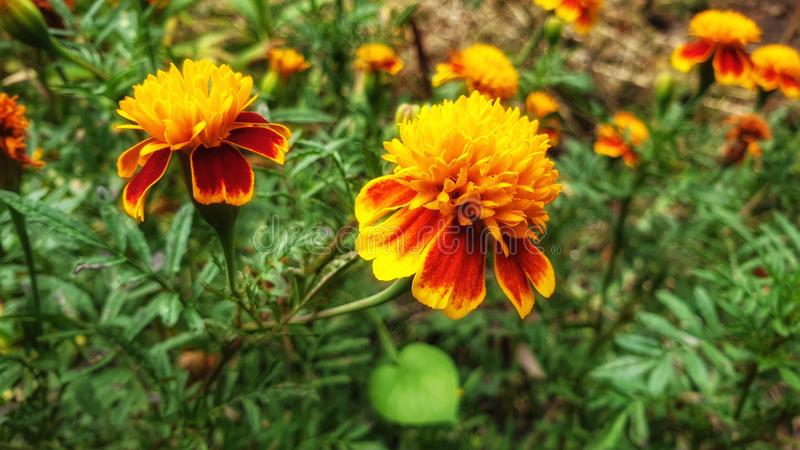 Autumn flowers  is marigold stock images