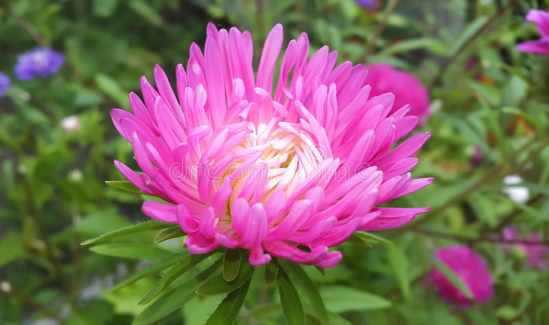 Autumn flowers. Pink Astra. stock photo